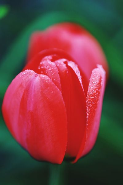 Tulpenblüte Canon Canoneos6d Canonphotography Canon_photos Flower Red Freshness Pink Color Close-up No People Petal Nature Beauty In Nature Flower Head Day Outdoors Fragility