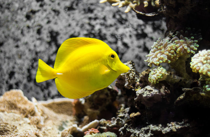 Animal Themes Animal Wildlife Animals In The Wild Aquarium Aquarium Life Beauty In Nature Close-up Coral Day Fish Focus On Foreground Nature No People One Animal Outdoors Sea Sea Life Swimming UnderSea Underwater Water Yellow Yellow Fish