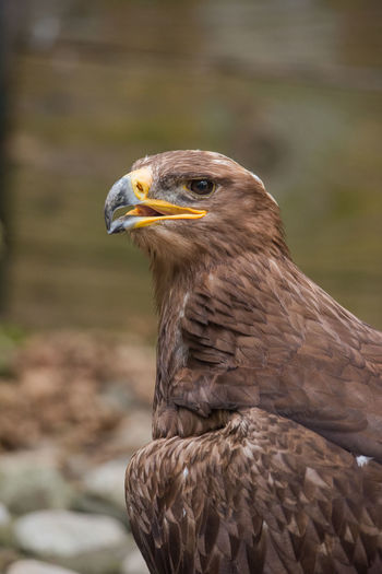 Animals In The Wild Birds Of Prey Animal Animal Themes Animal Wildlife Bird Bird Of Prey Birds Close-up Day Eagle - Bird No People One Animal Outdoors