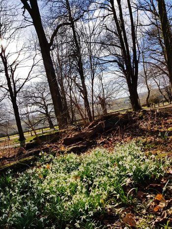 springtime woods Snowdrop Springtime Spring Flowers Nature WoodLand Nature Photography Sky Grass Landscape Woods
