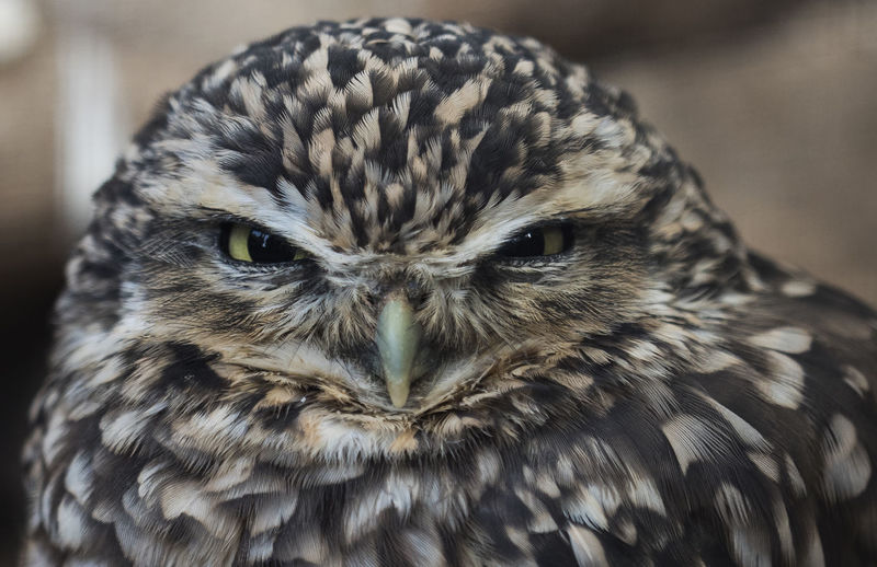 Burrowing Owl Raptor Animal Eye Austere Bird Bird Of Prey Close-up Looking At Camera Owl Portrait Stare Stern Threatening