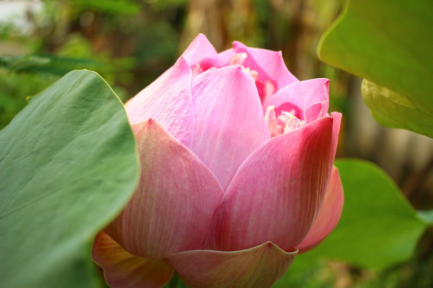 Bean Of India Beauty In Nature Blooming Blossom Botany Bud Close-up Flower Flower Head Focus On Foreground Freshness In Bloom Indian Lotus Leaf Lotus Nature Outdoors Petal Pink Pink Color Plant Sacred Lotus Selective Focus ดอกบัว บัวหลวง
