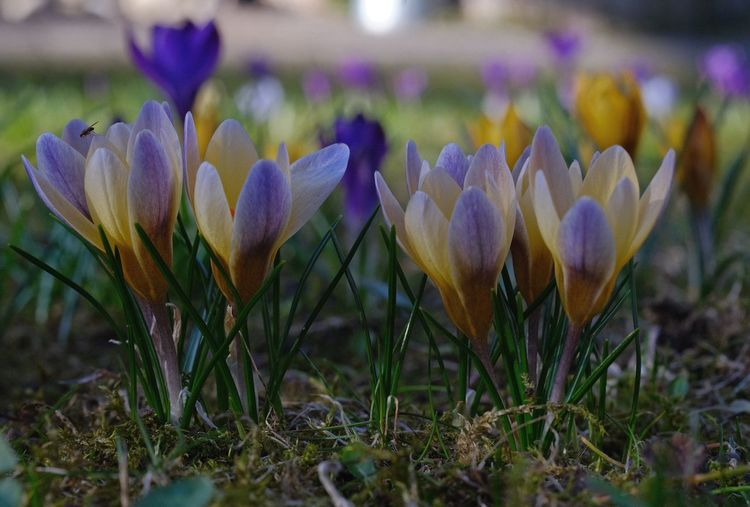 Flowering Plant Close-up Crocus Petal Selective Focus Springtime Purple Flower Head Nature In My Garden Analog Lens