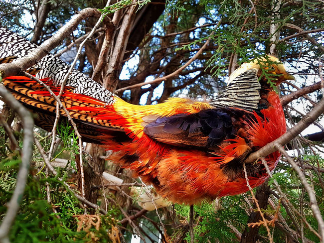Common pheasant - close up shot - 2016 - idleBG.com Basket Beauty In Nature Bird Bird Photography Birds Of EyeEm  Change Close-up Common Pheasant Day Feathers Focus On Foreground Growth Nature No People Orange Color Outdoors Pheasant Pheasant Feathers Pheasant's Back Plant Tree
