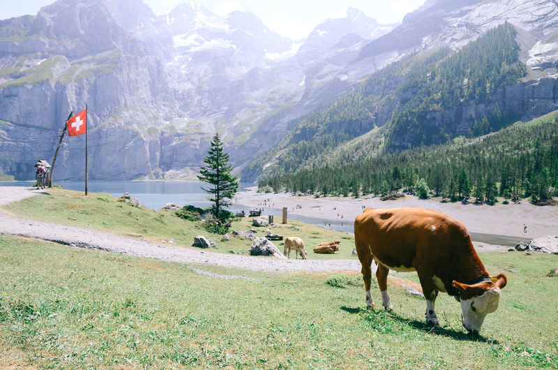 Animal Themes Beauty In Nature Day Domestic Animals Flag Grass Landscape Mammal Mountain Mountain Range Nature No People Outdoors Scenery Scenics Sky Swiss Swiss Flag Tree EyeEmNewHere