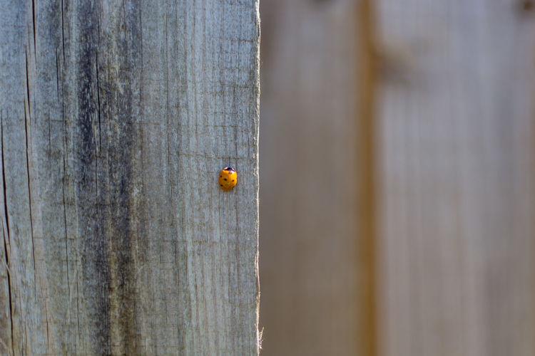 Close-up of ladybug on wood