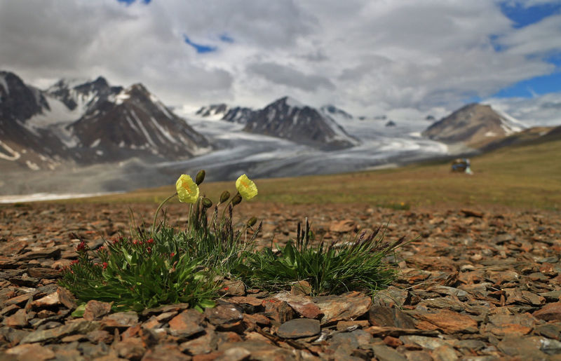 Mongolian landscapes Horizontal Mongolia Travel Photography Beauty In Nature Day Flower Flowering Plant Glacier Landscape Mountain Mountain Range Nature No People Non-urban Scene Plant Scenics - Nature Snowcapped Mountain