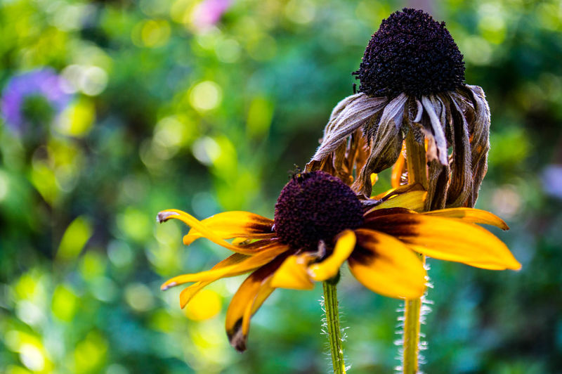 Animal Themes Beauty In Nature Blooming Close-up Coneflower Day Eastern Purple Coneflower Flower Flower Head Focus On Foreground Fragility Freshness Growth Nature No People Outdoors Petal Plant Yellow