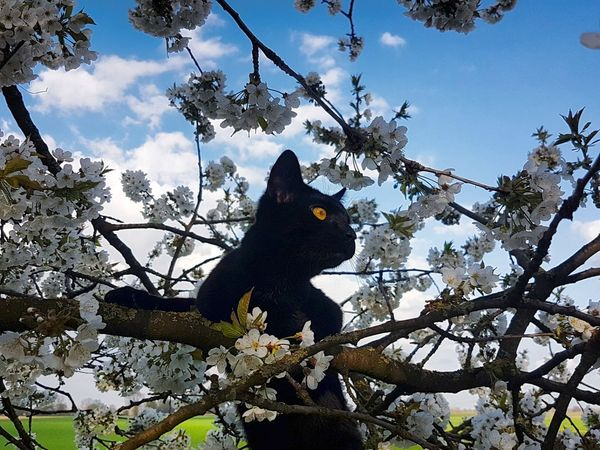 Tree Pine Tree Branch Pinaceae Low Angle View Nature Beauty In Nature No People Mammal Black Color Portrait Domestic Animals Looking At Camera Yellow Eyes Eyemphotography Cloud - Sky Katzenfoto Katzenliebe Katzen 💜 Katzen Katze Catlovers Cat♡ Animal Themes Nature