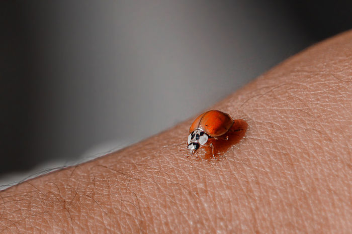Ladybug on an Arm Human Body Part Invertebrate Insect Animal Wildlife One Animal One Person Animals In The Wild Human Hand Close-up Body Part Hand Ladybug Human Skin Unrecognizable Person Skin Beetle Real People Finger Fingerprint Human Limb Nature Nature_collection Macro Macro Photography Ladybug