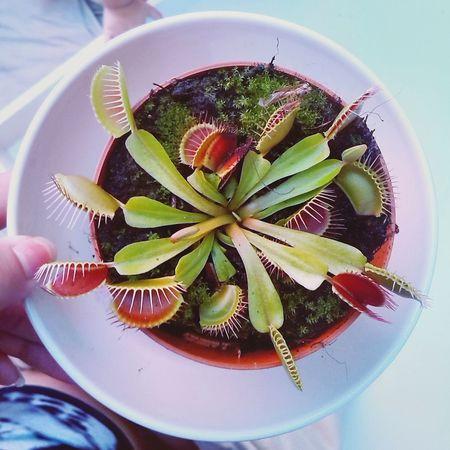 Flesh eating Plant