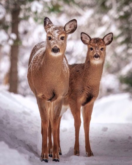 Cute Deer Looking At Camera Snow Winter Animals In The Wild Cold Temperature No People Young Animal Standing Nature Togetherness
