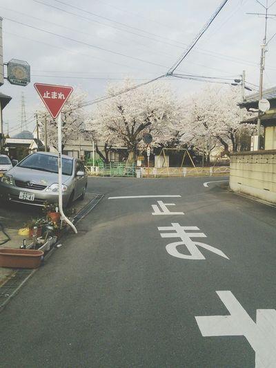 Cherry Blossoms Sakura Japan Spring