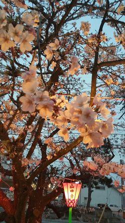 2016年 Japan 西尾市 Cherryblossom Sakura Hi! Hello World