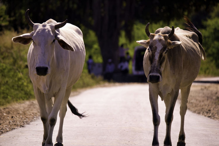 Two cows with horns walking on a street of rajasthan, india