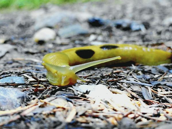 Slugs! Banana Slug Forest Oregon Coast Temperate Rainforest Check This Out Enjoying Life Awesome_nature_shots Beauty In Nature Outdoors Nature Popular Photos Hikingadventures Check This Out Close-up Forest Floor Sluglife Oregoncoast Rainforest Cape Perpetua