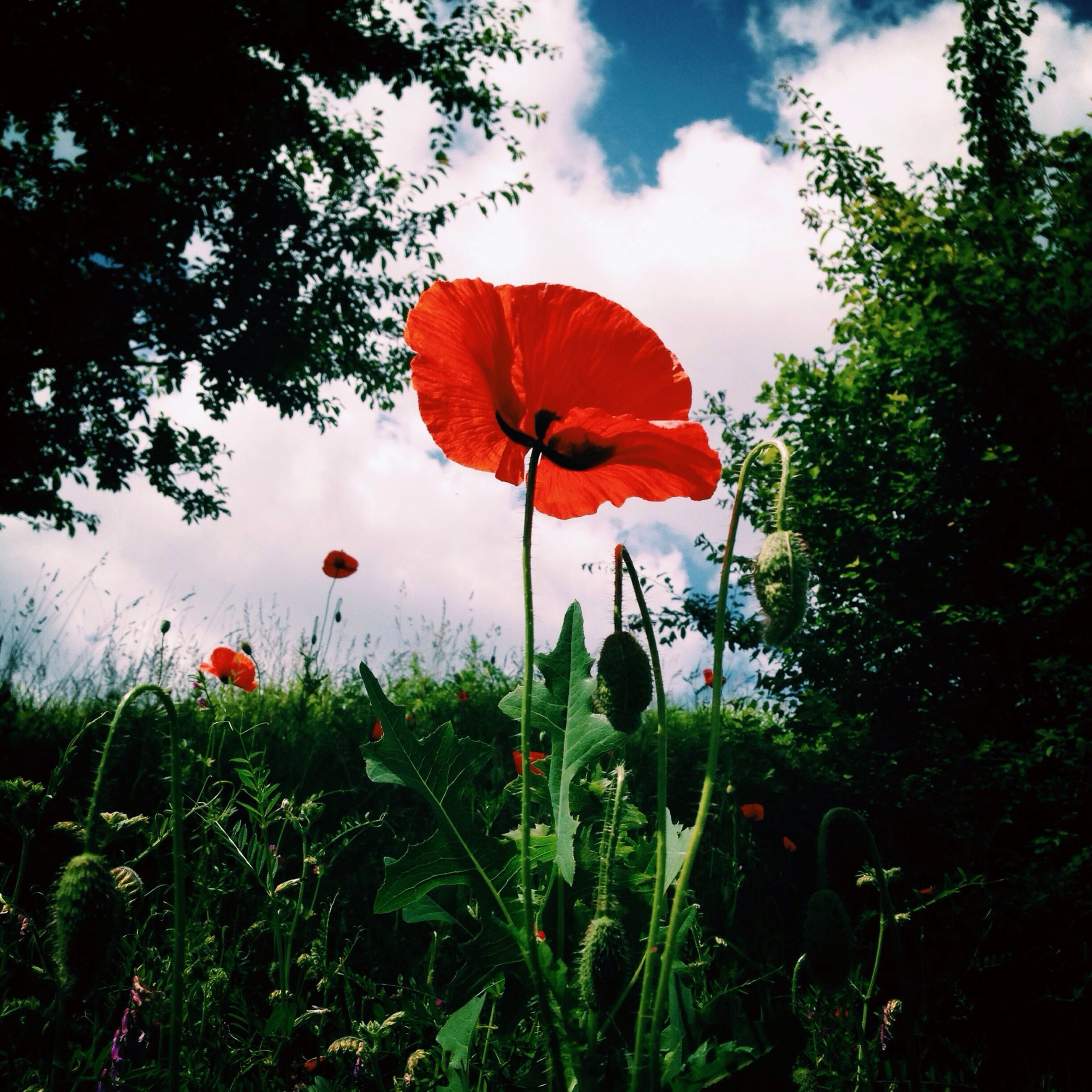 flower, red, growth, fragility, freshness, poppy, petal, beauty in nature, sky, plant, nature, field, flower head, stem, blooming, leaf, orange color, grass, cloud - sky, tranquility