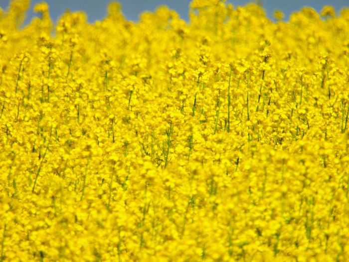 Outdoors Springtime Vibrant Color Fragility Full Frame Nature Land Freshness No People Backgrounds Yellow Beauty In Nature Flower Vulnerability  Flower Head Landscape Abundance Day Flowering Plant Plant Growth Field Rapeseed Rapeseed Field Rapeseed Blossom