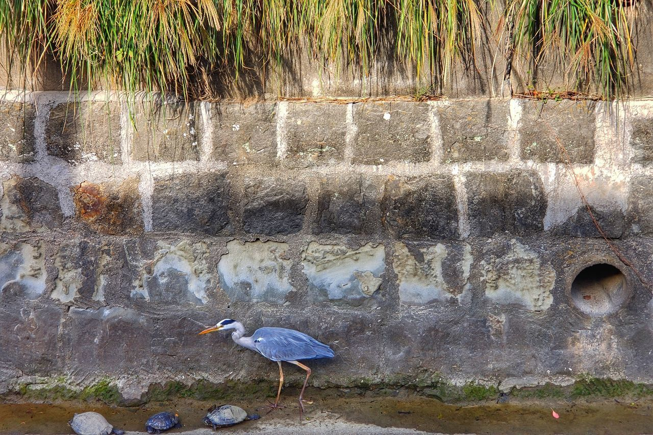 water, animal themes, bird, animal, vertebrate, day, animals in the wild, animal wildlife, nature, one animal, no people, architecture, outdoors, fountain, wall - building feature, built structure, motion, wall, heron, flowing water, flowing