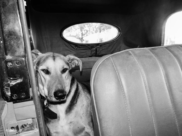 Designated driver BW Abandoned Alone Animals Beauty In Nature Black Black And White Black And White Collection  Black And White Photography Black And White Street Photography Cute Dogs Old Vintage Vintage Cars