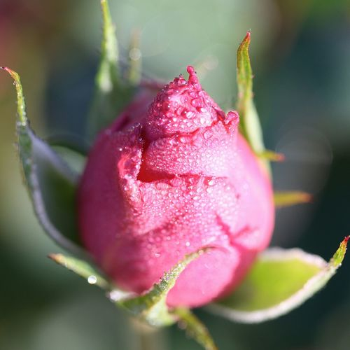 Close-up of wet pink flower bud