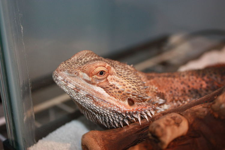 Close-up of bearded dragon
