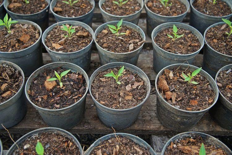 Chilli seedling for field transplanting