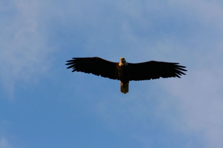 Eagle Raptor Animal Themes Animal Wildlife Animals In The Wild Avian Bald Eagle Beauty In Nature Bird Bird Of Prey Birds Day Flying Low Angle View Mid-air Nature No People One Animal Outdoors Sky Spread Wings