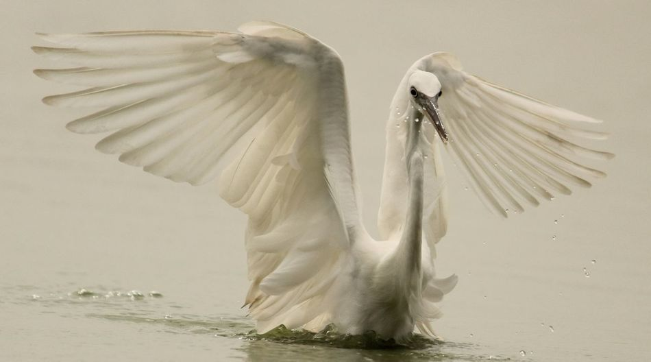 Close-Up Of Egret Flapping Wings On Lake