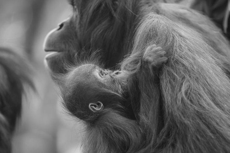 Pongo pygmaeus pygmaeus [Canon EF 300mm f/2.8 L IS II USM] Mammal Primate Hair Ape Close-up One Animal Animal Wildlife No People Focus On Foreground Animal Hair Looking Vertebrate Looking Away Profile View Herbivorous Orangutan Pongo Pongo Pygmaeus Animals In The Wild Wild Animals