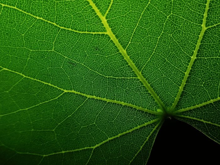 Leaf Green Color Nature Backgrounds Close-up Full Frame Beauty In Nature No People Growth Day Freshness Kathir Mano Kathir1020 Beautiful Macro_collection Plant ZenfoneZoom