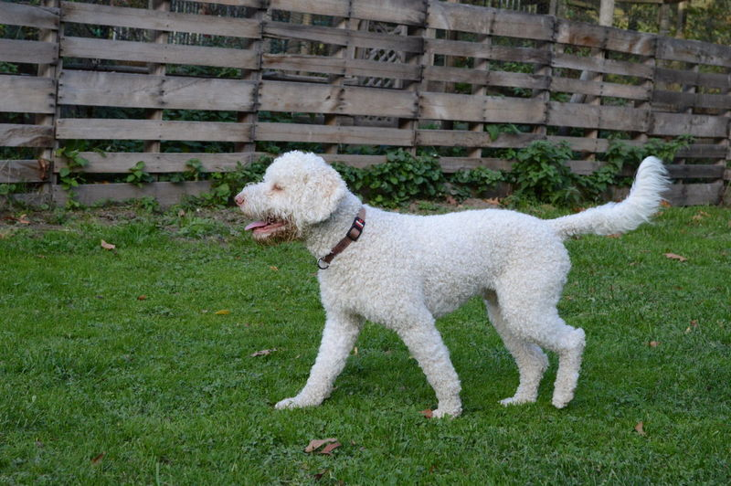 Lagotto Romagnolo Lagottolove Domestic Animals White Haired Dog Pets Dog Grass Green Color