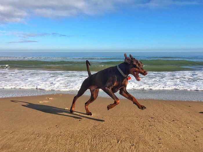 Out walking the beautiful Alfie Beach Animal Themes Horizon Over Water Doberman  Dobermanoftheday Dobermanlove Alfiethedoberman Sea Autumn Seas Water Shore Dog Domestic Animals Sand One Animal Outdoors Beauty In Nature Cloud - Sky No People