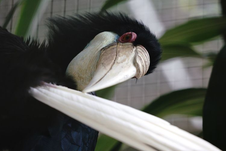 Black hornbill Hornbill Black Hornbill EyeEm Selects Bird Animal Themes One Animal Animals In The Wild Animal Wildlife Beak Close-up Hornbill Perching