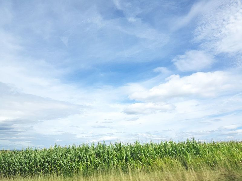 Field Agriculture Cloud - Sky Freshness Nature Beauty In Nature Crop  No People Sky Day Rural Scene Growth Fragility Outdoors Tree Springtime Flower Urlaub ❤ Summer Sunlight Blue Sunlight Freshness Landscape Scenics