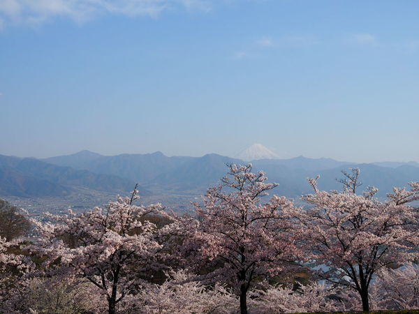 Blossom Tree Flower Springtime Growth Beauty In Nature Flower Head Nature Olympus EyeEm Nature Lover Growth Pink Color Nature_collection Flowers Pink Flower Cherry Blossoms Pastel Power Taking Pictures Taking Photos 富士山 From My Point Of View Beauty In Nature Mt.Fuji