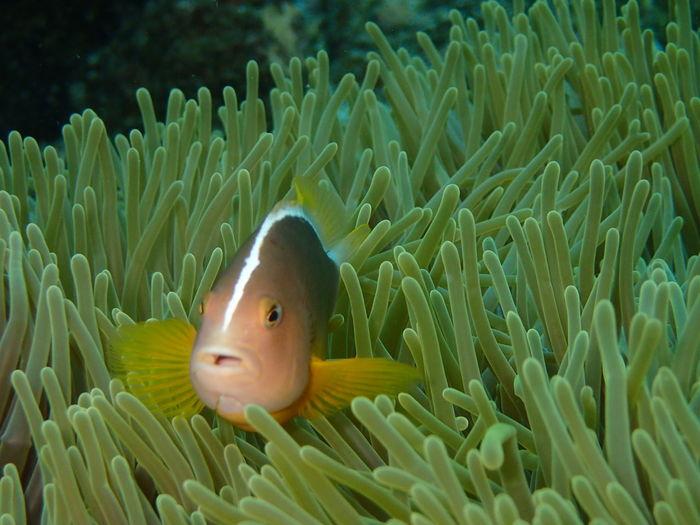 Nemo Nemo Fish Clownfish Anamoli Fish Nemo :3 Underwater Underwaterphotography Sabangisland Sabang Underwater Animals Underwater Photography Underwaterworld Underwater Life Diving Underwaterlife Fishes Clown Fish