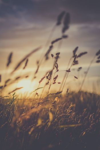 Fields of summer... Summer EyeEm Selects Close-up Plant Nature Beauty In Nature Silhouette Sunset Outdoors Nikon Check This Out Kent Photooftheday Creative Photography Scenic Capture The Moment. Wheat Field No People Faversham