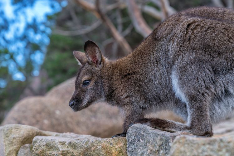 Close-up of wallaby on rock