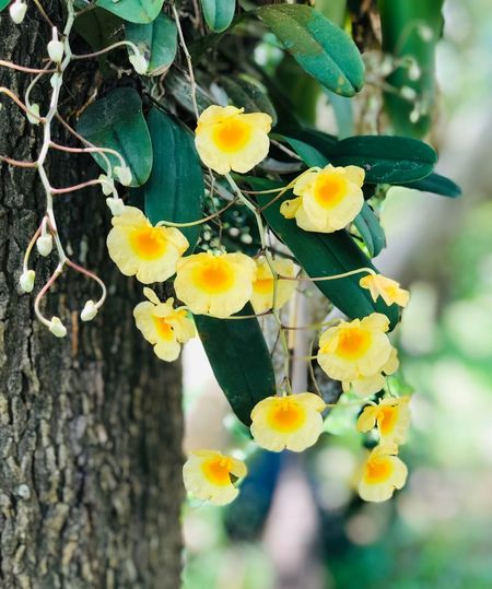 Yellow orchids in the garden Plant Flowering Plant Growth Flower Yellow Beauty In Nature Freshness Vulnerability  Close-up Focus On Foreground Fragility No People Day Nature Tree Petal Leaf Flower Head Plant Part Outdoors