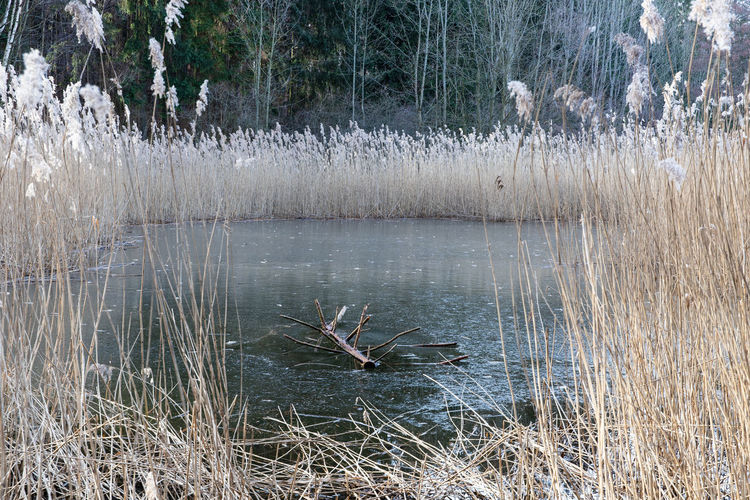 a small frozen lake with shiny water reeds Plant Lake Frozen Water Water Reed Water Tree Tranquility Nature Day Tranquil Scene Scenics - Nature Beauty In Nature Non-urban Scene No People Grass Animals In The Wild Vertebrate Animal Animal Themes Animal Wildlife Growth Outdoors Dead Plant