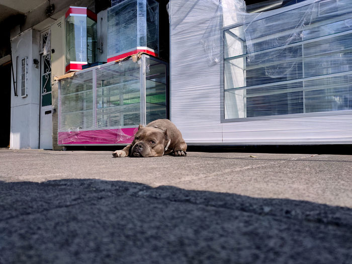 Dog resting on street against building in city
