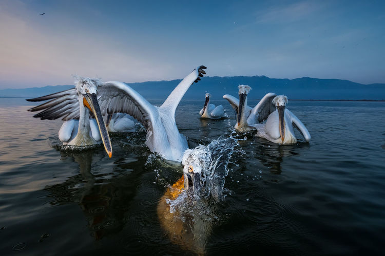 Pelicans swimming in lake against sky