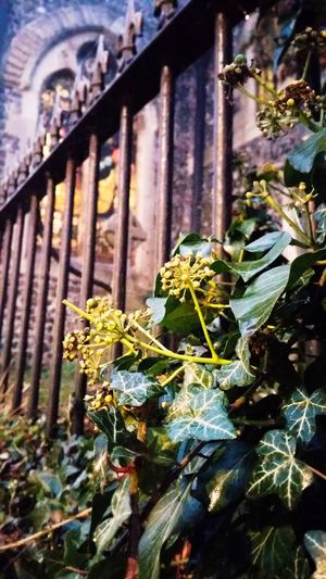 Growth Plant Nature Flower Leaf No People Day Outdoors Freshness Beauty In Nature Fragility Architecture Close-up Church Fence Close Up England Leaves Nature_collection Nature Photography Window Focus On Foreground