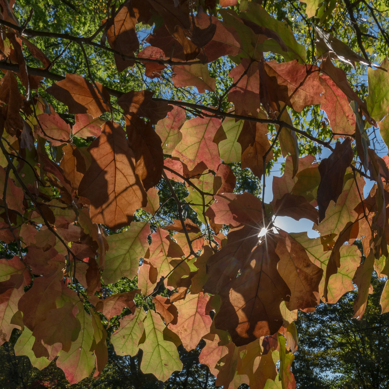leaf, autumn, tree, branch, change, nature, beauty in nature, day, growth, outdoors, no people, low angle view, close-up, fragility, maple, freshness