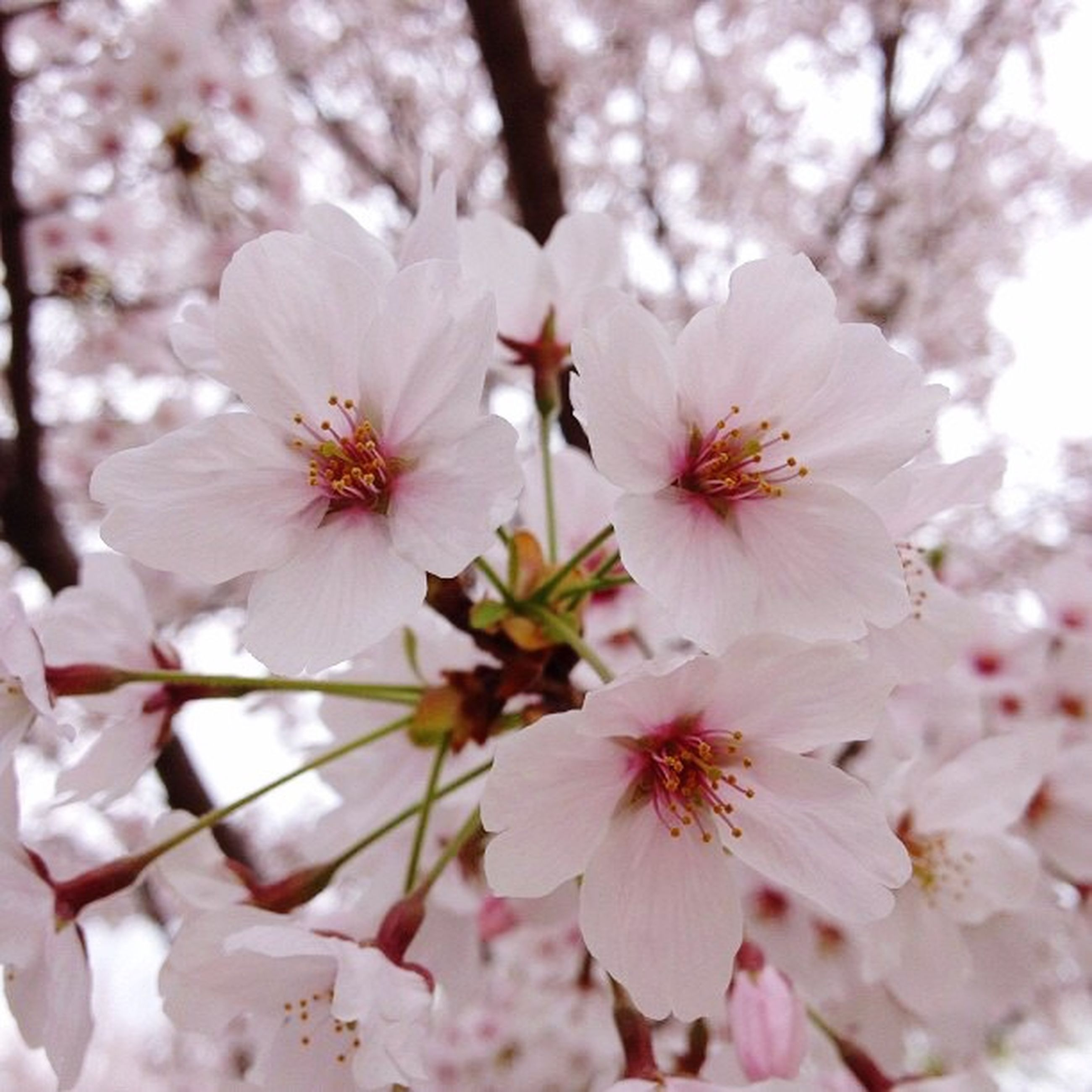nature, flower, beauty in nature, growth, fragility, tree, springtime, freshness, petal, blossom, close-up, outdoors, day, flower head, no people, branch, plum blossom