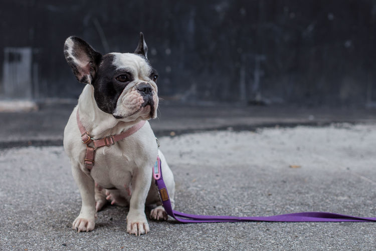 Bibi Animal Themes Boston Terrier Close-up Day Dog Domestic Animals Focus On Foreground Mammal No People One Animal Outdoors Pet Collar Pets Sitting