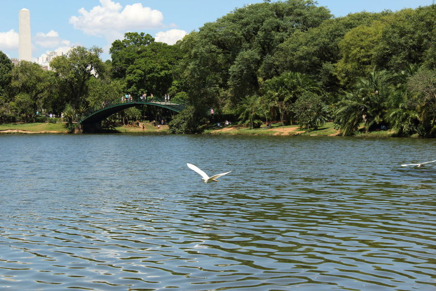 Birds Birds In Flight Daylight Daytime Photography Egret Egret In Lake Egret_in_flight Ibirapuera Ibirapuera Park Lake View Nature Obelisk Sao Paulo - Brazil São Paulo, Brasil Trees And Sky