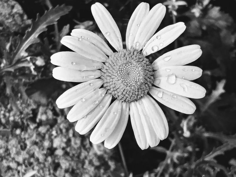 Daisy in Black & White: Flower Plant Nature Petal Beauty In Nature Outdoors Blooming No People Flower Head Nature Flora Black And White Beauty Floral Nature Photography Nature Beauty Beauty In Nature Nature Collection Nature Shots Black And White Collection! ©2017 Williampresley Beautiful Tranquil Scene Tranquility Seasonal