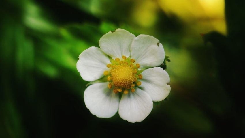 A beautiful flower of wild strawberry Olympus Poland Beauty In Nature Close-up Day Flower Flower Head Flowering Plant Focus On Foreground Fragility Freshness Garden Growth Inflorescence Nature No People Outdoors Petal Plant Pollen Single Spring Vulnerability  White Color Wild Strawberry